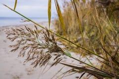Riet op de kust van de zeekust in de Golf van Riga, Letland, Kurzeme stock fotografie