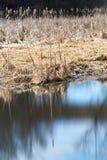 Riet op de rand van een moeras die in vlot glazig water nadenken, Royalty-vrije Stock Fotografie