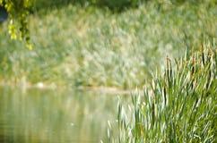Riet op de rivierachtergrond Royalty-vrije Stock Fotografie