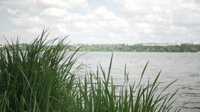 Riet op een kust van meer in de zomerdag stock video