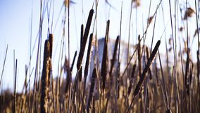 Riet op het Meer Riet van het de herfst het droge meer stock footage