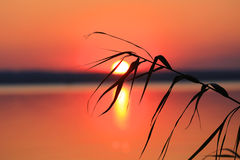 Riet op zonsondergang Stock Afbeelding