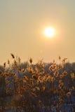 Riet in sneeuw en zon over de hemel Verticale mening met riet opnieuw Stock Fotografie