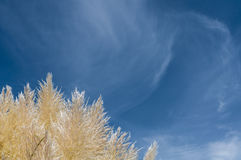 Riet tegen blauwe hemel Royalty-vrije Stock Fotografie