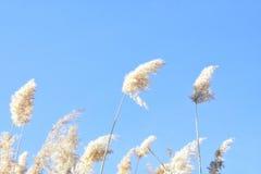 Riet tegen de blauwe hemel Stock Foto's