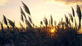 Riet tegen zonsondergang op winderige dag stock footage