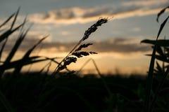 Riet voor de zonsondergang Stock Afbeelding