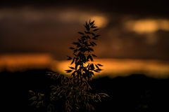 Riet voor de zonsondergang Royalty-vrije Stock Foto's