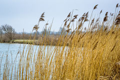 Riet in water, Holland Stock Foto's