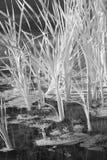 Riet in Zwart-wit Water Stock Afbeeldingen