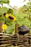Rieten omheining, zonnebloemen en pot Stock Foto's