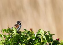 Rietgors; Reed Bunting comum; Schoeniclus do Emberiza fotos de stock royalty free