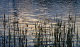 Rietinstallatie op het meer met waterbezinning royalty-vrije stock afbeeldingen