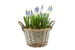 Rietmand met blauwe druivenhyacinten royalty-vrije stock foto