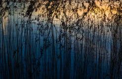 Rietstro in de zonsondergang stock afbeelding
