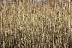 Rietveld op een vijver in de winter Stock Fotografie