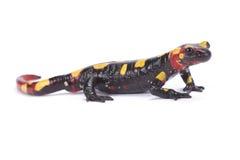 Rif mountain fire salamander,Salamandra algira splendens. The Rif mountain fire salamander,Salamandra algira splendens, is endemic to the Rif mountain range in Royalty Free Stock Images