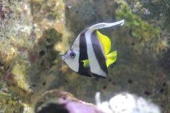 Riff bannerfish oder Butterflyfish Lizenzfreie Stockbilder