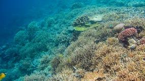 Riff Edge som täckas av härliga koraller på Kri, Raja Ampat, Indonesien arkivfoton