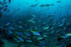 Riff-Fische in den großen Anzahlen Lizenzfreie Stockfotografie