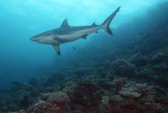 Riff-Haifisch Stockfotografie