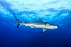 Riff-Haifische im blauen Wasser Stockfotografie