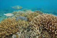 Riff staghorn Korallen Unterwasserpazifischer ozean Stockbilder