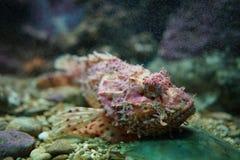 Riff Stonefish im Aquarium lizenzfreies stockfoto