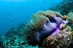 Riff und Anemone mit Fischen, Maldives, der Indische Ozean Stockfoto