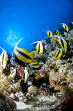 Riff und farbige Schule der Fische, Rotes Meer, Ägypten Stockfoto