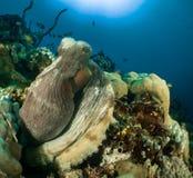 Riff und Krake Malediven Stockbild