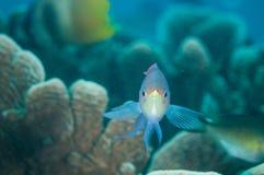 Rifffisch schwimmt über den Korallenriffen in Gorontalo, Indonesien-Unterwasserfoto Lizenzfreie Stockfotografie