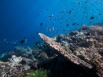 Rifffische auf Bunaken-Wand Lizenzfreies Stockfoto