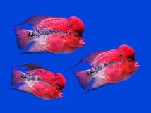 Rifffische, blaue tangflower Hupenfische auf blauem scree stockbilder