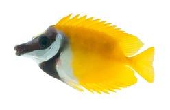 Rifffische, foxface tabbitfish, getrennt auf weißem b Lizenzfreie Stockfotografie