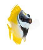 Rifffische, foxface tabbitfish, getrennt auf weißem b stockfotos