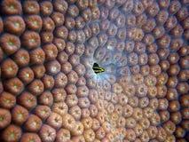 Rifffische (Friseur Goby Elacatinus-figaro) versteckendes O Stockfotos