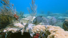 Rifffische im Pompano-Strand, FL Lizenzfreie Stockfotografie