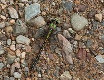 Riffle Snaketail Fotografia Royalty Free