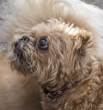 Riffon Bruxellois or Brussels Griffon Stock Photography