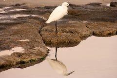 Riflessione bianca dell'uccello Fotografia Stock