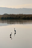 Riflessione degli uccelli Fotografie Stock