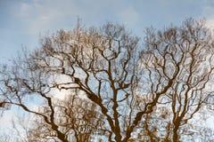 Riflessione dei rami di albero Immagine invertita fotografia stock
