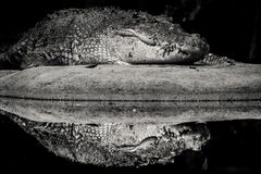 Riflessione del coccodrillo immagini stock libere da diritti