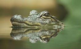 Riflessione del coccodrillo Fotografia Stock Libera da Diritti
