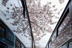 Riflessione del fiore di ciliegia in vetro fotografia stock