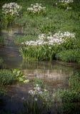 Riflessione del giglio sull'acqua Fotografia Stock Libera da Diritti