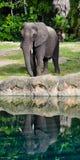 Riflessione del ` s dell'elefante Fotografie Stock