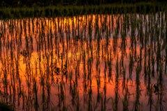 Riflessione del tramonto in una risaia Immagini Stock Libere da Diritti
