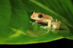 Riflessione del Treefrog di Stauffer fotografia stock